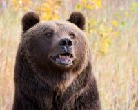 Brown północnoamerykański Niedźwiedź (Grizzly Niedźwiedź) Obrazy Stock