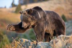 Brown północnoamerykański Niedźwiedź (Grizzly Niedźwiedź) Zdjęcia Stock