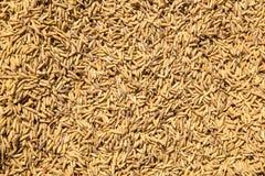 Brown paddy rice Stock Photo
