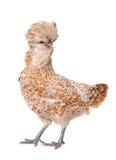 Brown Padovana kurczak obrazy stock