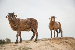 Brown paire no monte arenoso na área holandesa da floresta perto de Zeist Imagens de Stock
