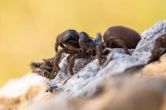 Brown pająka Atypus muralis w republika czech zdjęcia stock