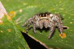 Brown pająk na zielonym liściu obraz royalty free