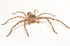 Brown pająk odizolowywający na białym tła zakończeniu Obraz Royalty Free