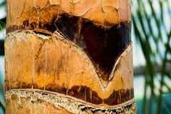 A brown palm tree trunk. Close-up. Detail of a palm tree trunk with brown stripes with blurry blue background Stock Photography