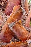 Brown-Palmenbarke Lizenzfreie Stockfotos