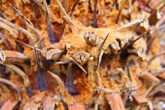 Brown-Palmenbarke Stockfoto
