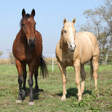 Brown and palomino horses looking at you Stock Images