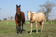 Brown and palomino horses looking at you Stock Photography