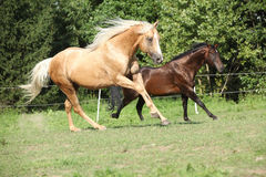 Brown and palomino stallions running on pasturage Royalty Free Stock Photos