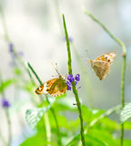 Brown Pansy butterflies in a garden Royalty Free Stock Photos