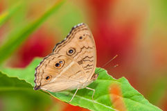 Brown Pansy Butterfly on Green Leaf Closed-up Royalty Free Stock Photography