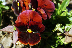 Brown pansy close up photography. Stock Photo
