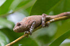 Brown Panther chameleon crouches on Royalty Free Stock Photos