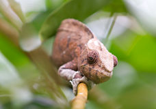 Brown Panther chameleon crouches on Royalty Free Stock Images
