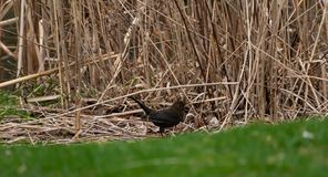 Brown park bird amongst grass royalty free stock photo