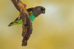 Brown Parrot, Poicephalus meyeri, green and grey exotic bird sitting on the tree, Botswana, Africa. Wildlife scene from the safari. Africa Stock Image
