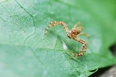 Brown paskował pająka Zdjęcie Stock