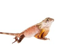 The Brown-patched Kangaroo lizard on white. The Brown-patched Kangaroo lizard, Otocryptis wiegmanni, isolated on white Stock Image