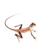 The Brown-patched Kangaroo lizard on white Stock Image