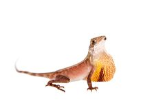 The Brown-patched Kangaroo lizard on white. The Brown-patched Kangaroo lizard, Otocryptis wiegmanni, isolated on white Stock Photos