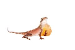 The Brown-patched Kangaroo lizard on white. The Brown-patched Kangaroo lizard, Otocryptis wiegmanni, isolated on white Royalty Free Stock Photo