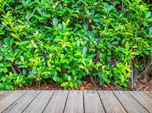 Brown pattern wooden deck on greenery leaves of ficus plant background. Brown pattern wooden deck on greenery  leaves of ficus plant background stock photos