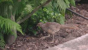 Brown peafowl outdoor. Exotic bird and green plants stock video footage