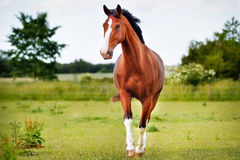 Brown pedigree horse. Brown purebred horse  on grass during summer time Stock Images