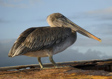 Brown Pelican. The Brown Pelican is a common site on the Galapagos islands, entertaining visitors from all over the world Royalty Free Stock Photos