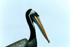 Brown Pelican. Close-up of an adult brown pelican, widespread on the pacific coast Royalty Free Stock Images