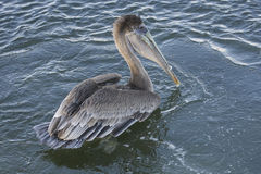 Brown Pelican Stock Photo