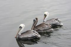Free Brown Pelican Stock Image - 12250201