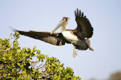 Free Brown Pelican Royalty Free Stock Photo - 13172075