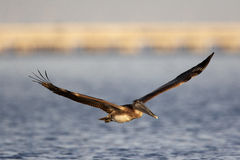 Free Brown Pelican Royalty Free Stock Photography - 13172087