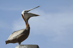 Brown Pelican. A Brown Pelican with his beak open Royalty Free Stock Image