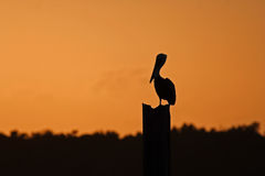 Brown Pelican Stock Image