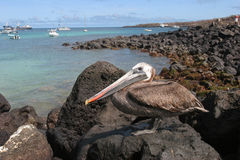Brown Pelican. Wide angle view Royalty Free Stock Image