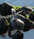 Brown Pelican. In Monterey Bay Royalty Free Stock Photography