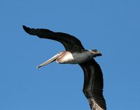 Brown Pelican. Flying in California Royalty Free Stock Photo
