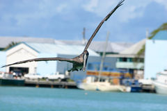 Brown pelican. A brown pelican in flight at St Johns port, Antigua. Pelecanus occidentalis royalty free stock image