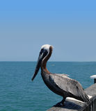 Brown Pelican. Standing of the edge of a pier Royalty Free Stock Photos