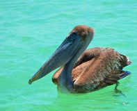 Brown Pelican. Large Brown Pelican relaxing in the Gulf of Mexico, off the coast of Anna Maria Island Florida Royalty Free Stock Image
