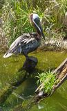 Brown Pelican. Royalty Free Stock Photo