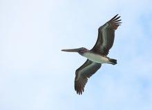 Brown Pelican. (Pelecanus occidentalis) soars in the sky Stock Photography