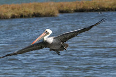 Brown Pelican. Flying over water Royalty Free Stock Photos