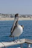 Brown Pelican. Juvenile Californian brown pelican, an endangered species Royalty Free Stock Image