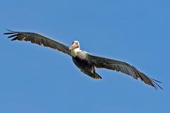 Brown Pelican. In flight against blue sky Royalty Free Stock Photos