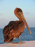 Brown Pelican. Posing for the camera at the Galapagos Islands royalty free stock image