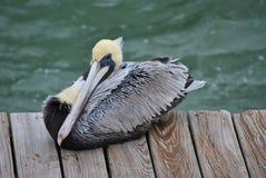 Brown Pelican. Endangered Brown Pelican Latin name Pelecanus occidentalis resting on a board walk Stock Image
